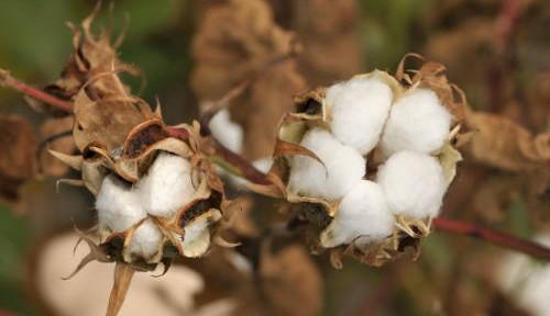 El algodón orgánico: una fibra textil totalmente ecológica